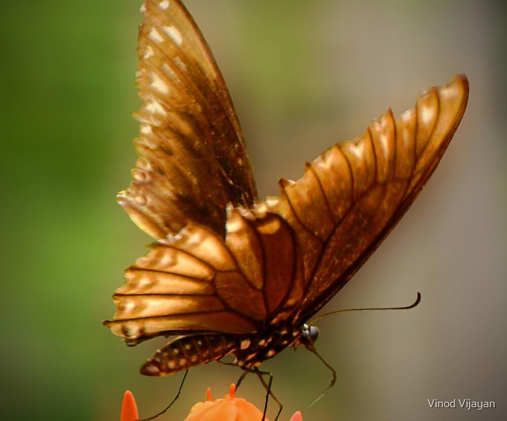 butterfly by Vinod Vijayan