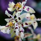 Purple and White Orchids by Amber D Hathaway Photography