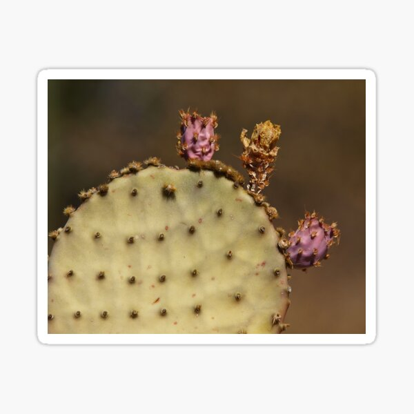 Aging Prickly Pear Sticker