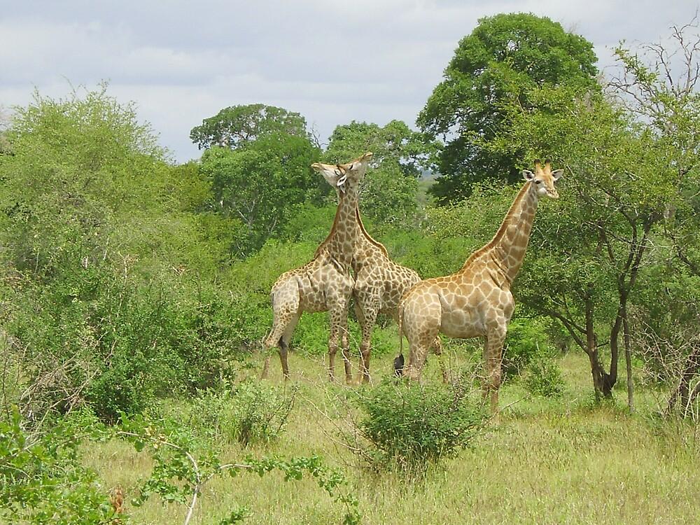 giraffe II by dawid