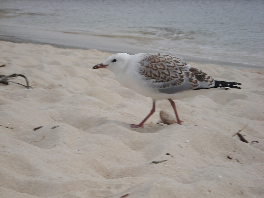 baby seagull  by kveta