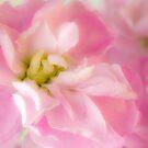 Pink Stock Matthiola Incana Macro  by Sandra Foster