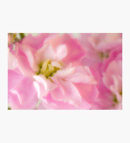 Pink Stock Matthiola Incana Macro  Photographic Print