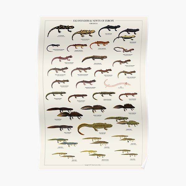 Salamanders & Newts of Europe Poster