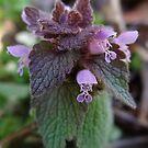 Purple Dead Nettle by vigor