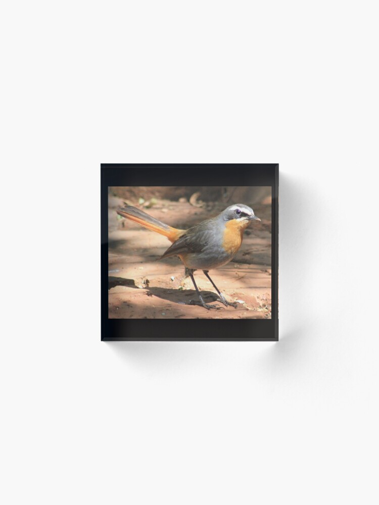 Alternate view of Cape Robin giving me the eye Acrylic Block