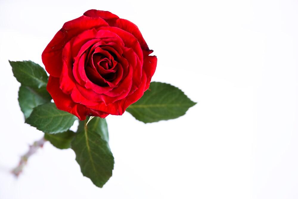 Red Rose by John Weaver