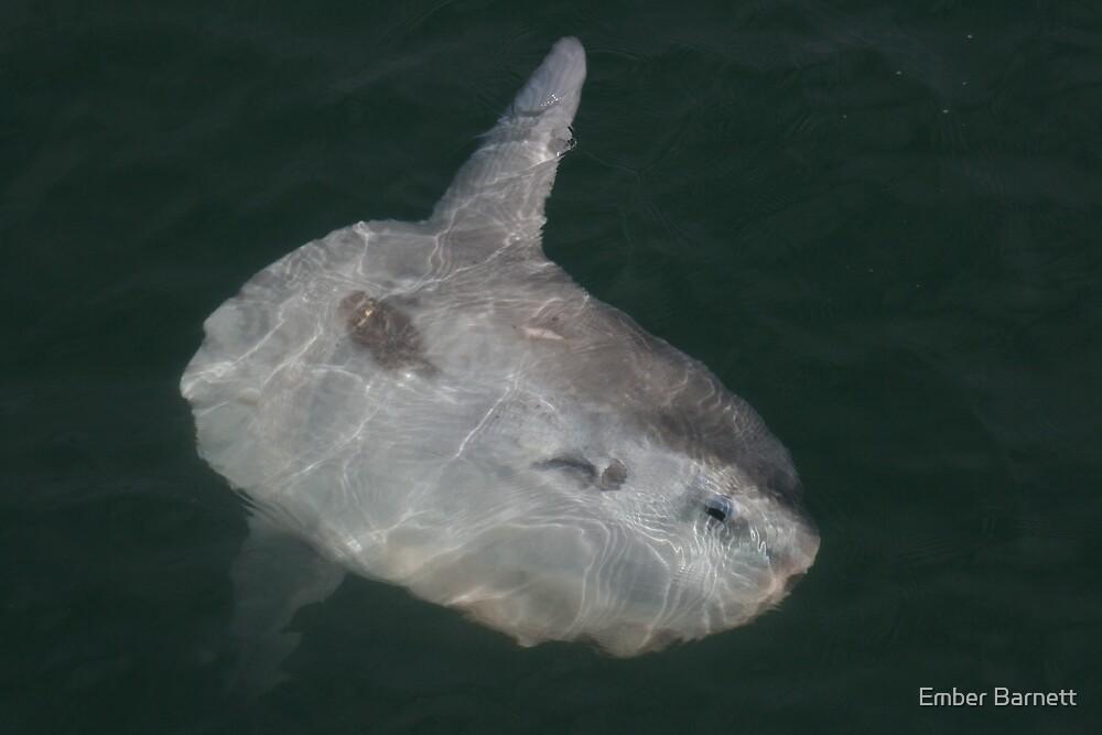 sunfish  by Ember Barnett