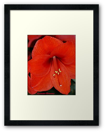 Red Amaryllis by Kathleen Struckle