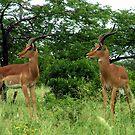 uMfolozi Impala by Chris Coetzee
