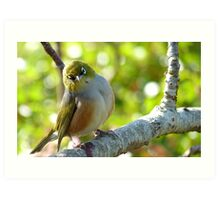 I'll Pose for your Today! - Silvereye - NZ Southland Art Print