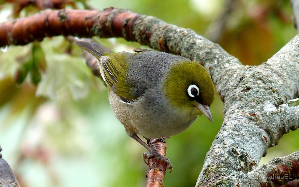 That Special Look! - Silvereye - NZ by AndreaEL