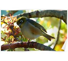 Balancing on one foot! - Silvereye - NZ - Southland Poster