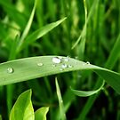 Dew on Grass by Robin Fortin IPA