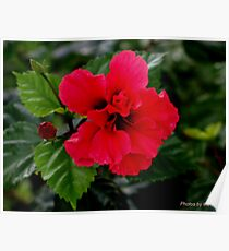 Pink Flower and Bud  Poster