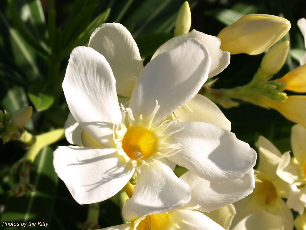 White Flower Bloom by thekitty1