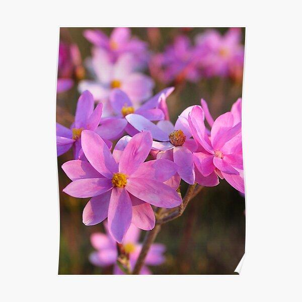 Pink everlastings Poster