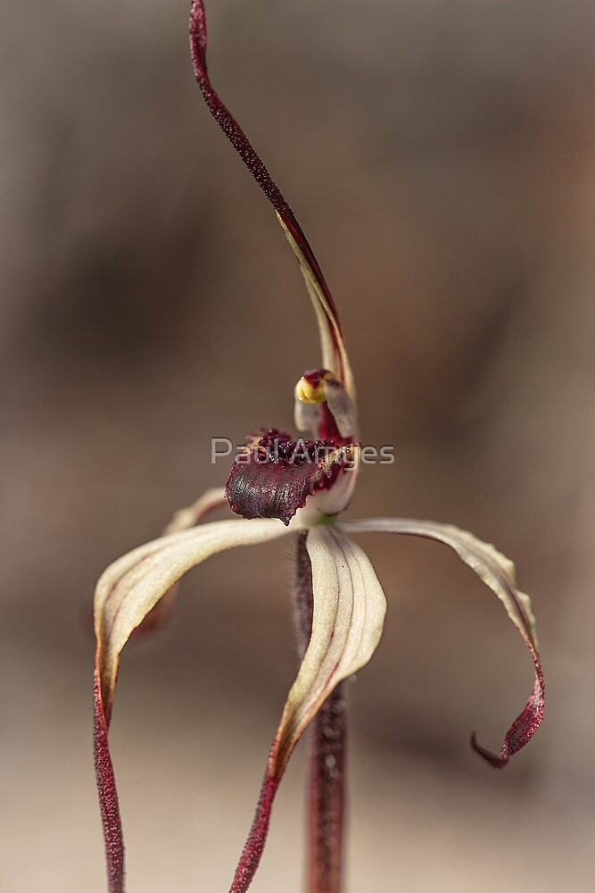 Winter Spider Orchid by Paul Amyes