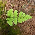 Spring fern in the pine wood by Anna Myerscough