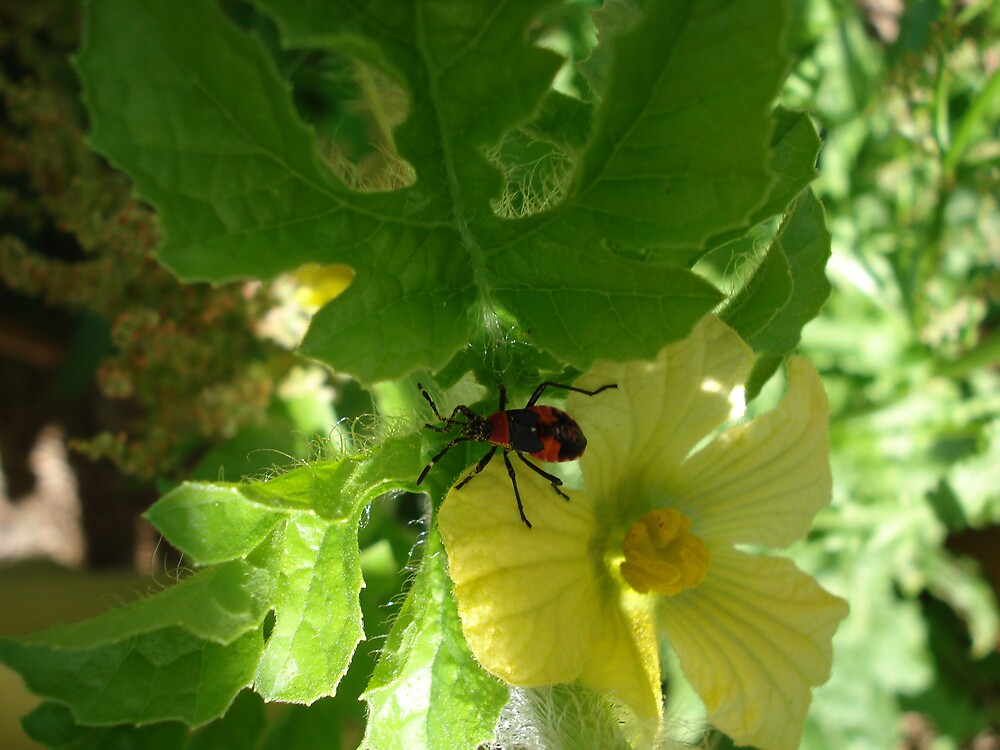 watermelon flower and beetle1 by kveta