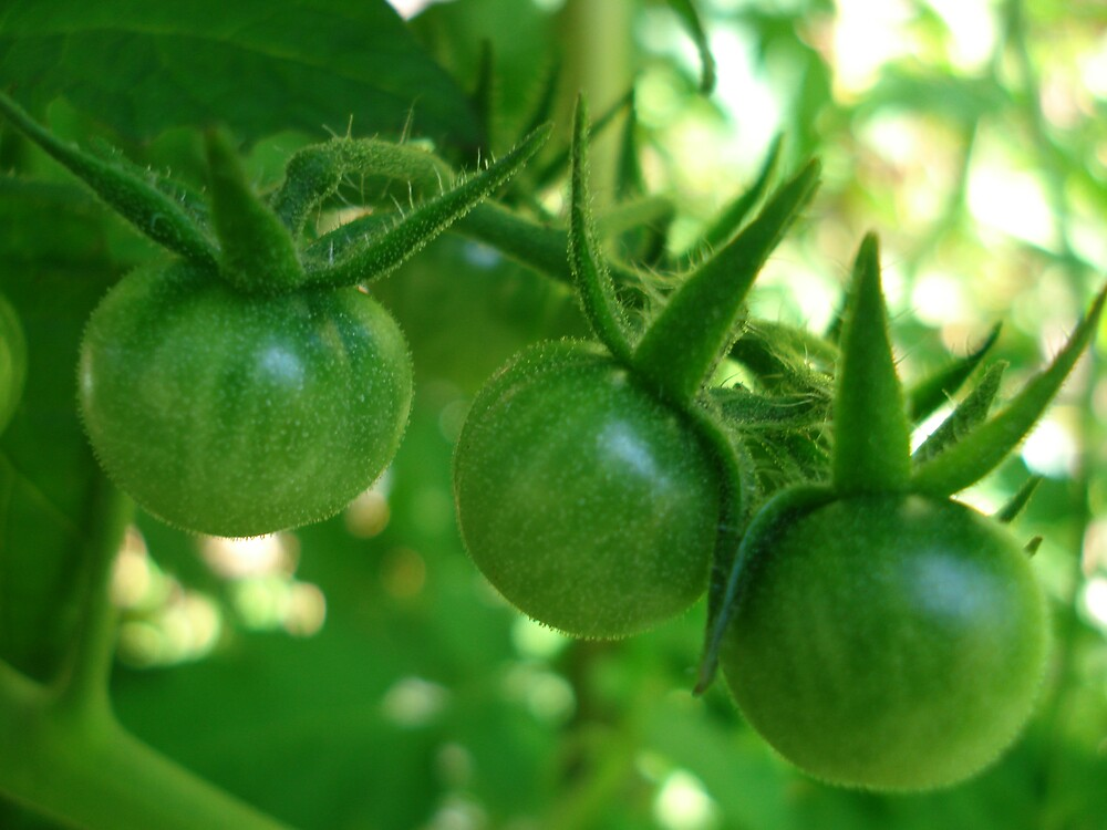 green tomatoes 5 by kveta