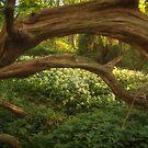 Wild Garlic Woods by FelicityB