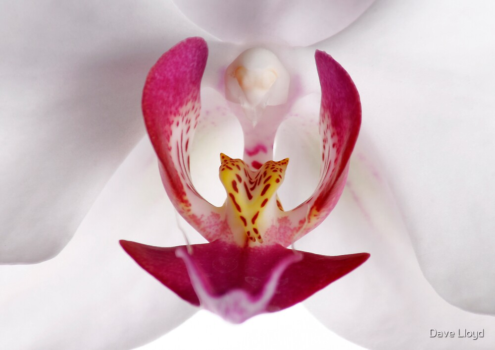 Orchid by Dave Lloyd