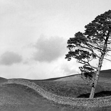 Galashiels Pine by lgrayson