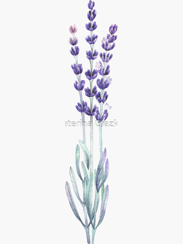 Watercolor lavender by Glazkova