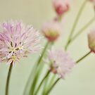 Chives in flower. by Lyn  Randle