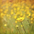 Buttercups. by Lyn  Randle