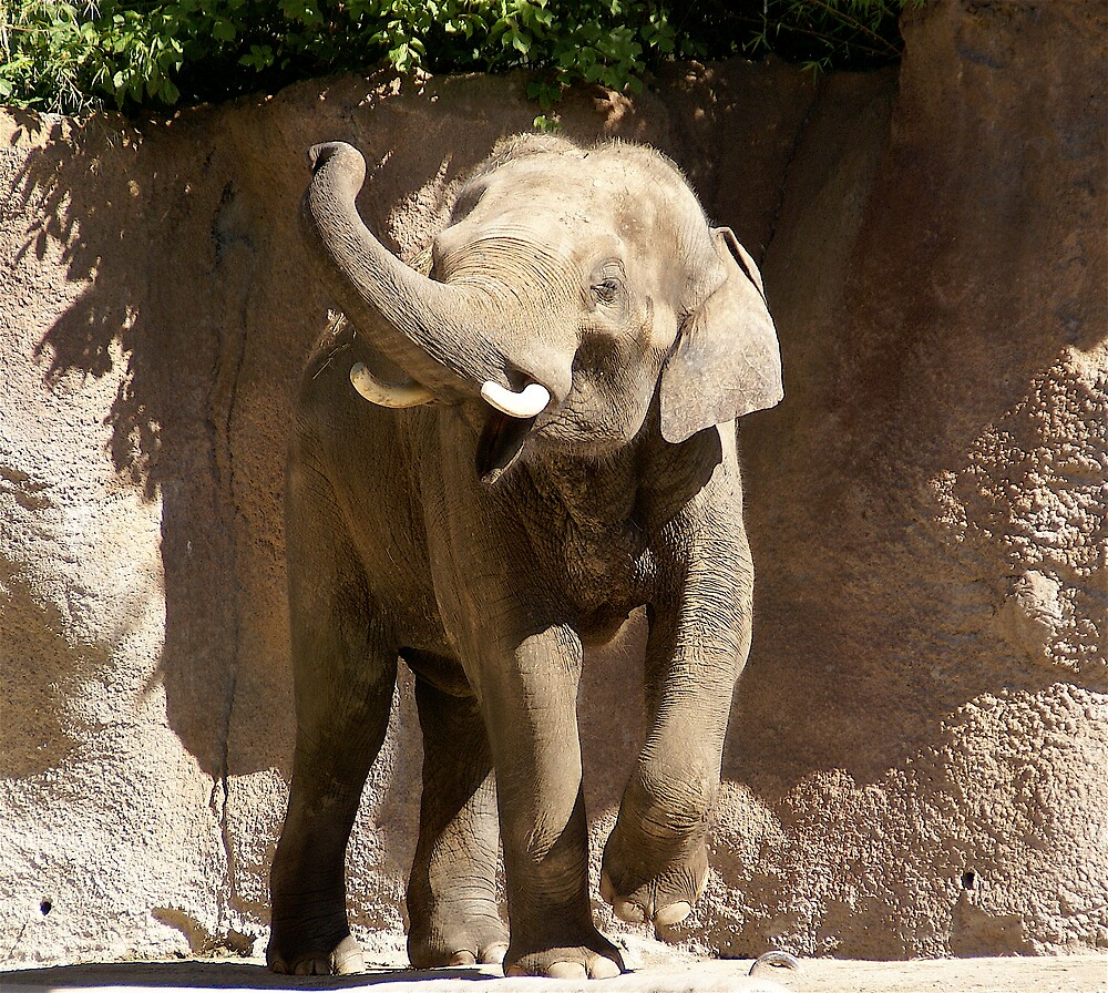 African Elephant by Jim Caldwell