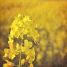 Fields of gold. by Lyn  Randle