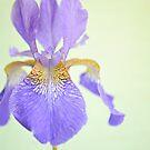 Iris. by Lyn  Randle