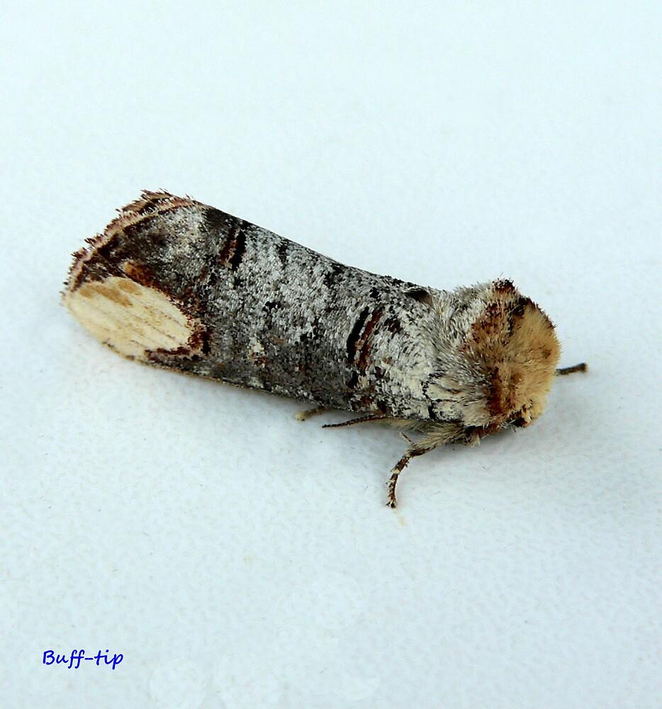 Buff-tip moth by patroc