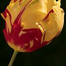 Yellow Red Tulip by Harv Churchill