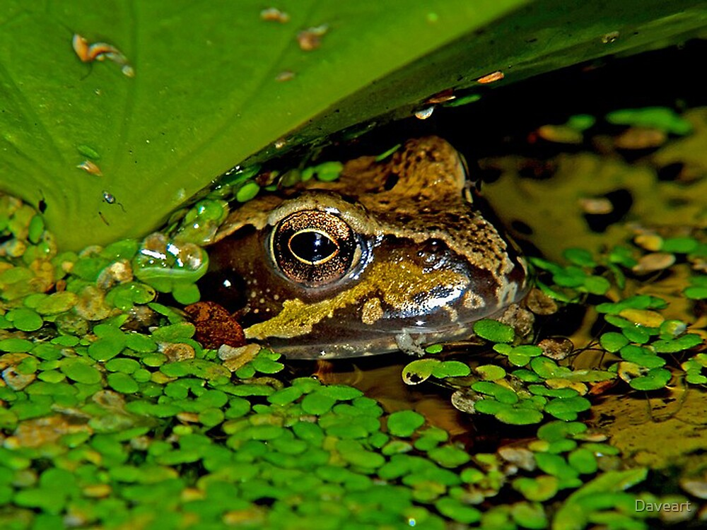 Frog in the pond by Daveart