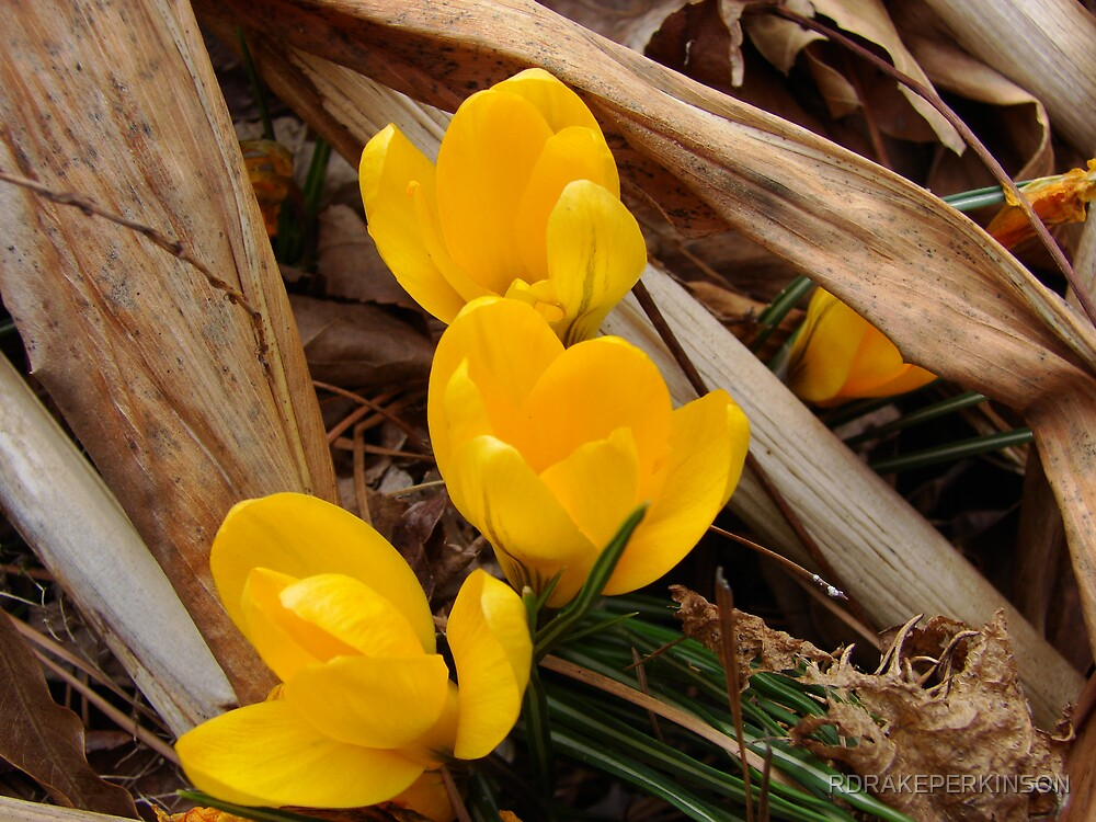 golden hearld of spring by RDRAKEPERKINSON