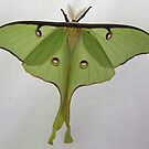 Luna Moth by Alice Kahn