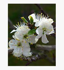 Sweet plum blossom Photographic Print