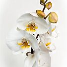 Moth Orchid by JEZ22