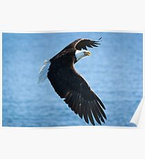 North American Bald Eagle in flight Poster