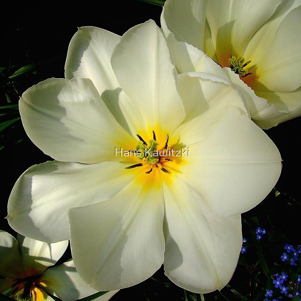 1363 White Tulips by Hans Kawitzki