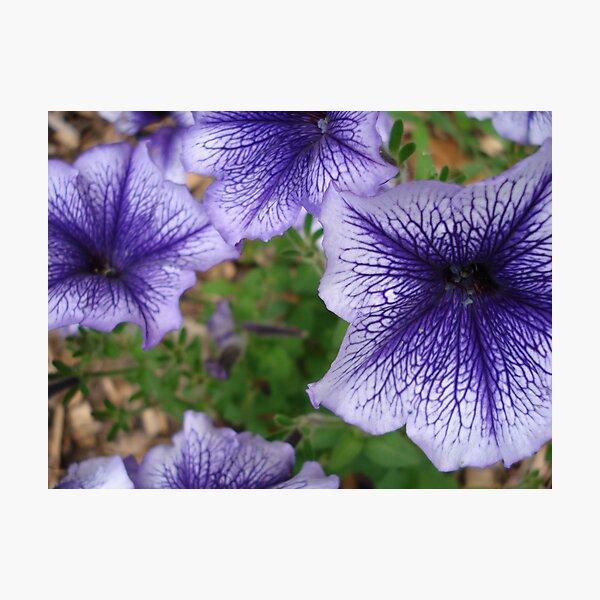 blue petunias Photographic Print