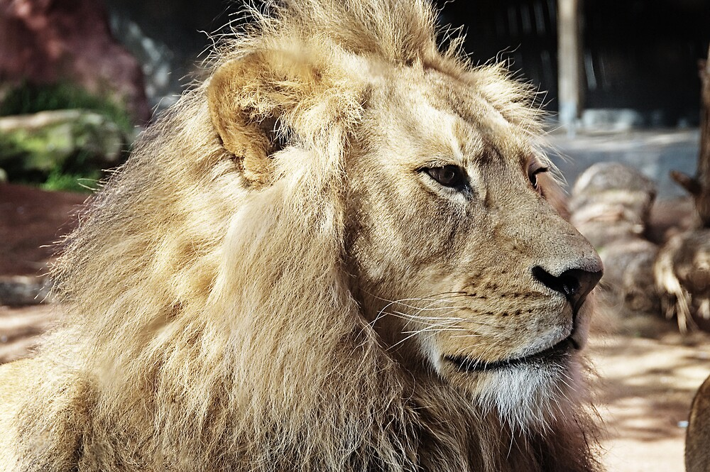 Lion by Nathan T