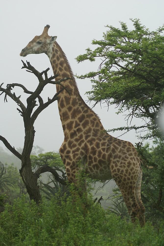Giraffe by Theo Randall
