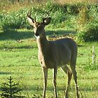 Little Buck in The Front Yard by MaeBelle
