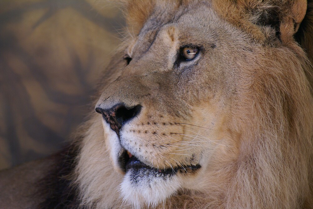 Lion by JackPloeg