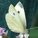 white butterfly by louise linskill