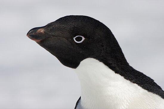 Adelie Penguin by Robert Elliott